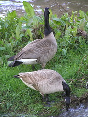 Geese under Highway 85 (meowhous the iconoclast) Tags: california water geese baseball goose 85 losgatos michaeljordan highway85 sanantoniospurs floccinaucinihilipilification