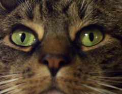 A Cropped Pic of Chessie (Sam Lamp Photography) Tags: brown nose eyes tabby finepix s5200 fujifilm chessie ccc19 samlamp thewaterfallhunter