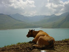 Cow, Mont Cenis (France) (mirkocorli) Tags: lake france mountains montagne lago cow mucca mont cenis