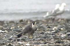 Peregrine Falcon (Falco peregrinus pealei) (poecile05) Tags: peregrinefalcon falcoperegrinuspealei