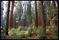 Giant Forest, Sequoia National Park (Buck Forester) Tags: california trees nature forest nationalpark grove hiking velvia giants redwoods wilderness sequoia sequoianationalpark giantsequoias sequoias buckforester brianernst gianttrees sequoiaforest sequoiagroves sierravisions sierravision