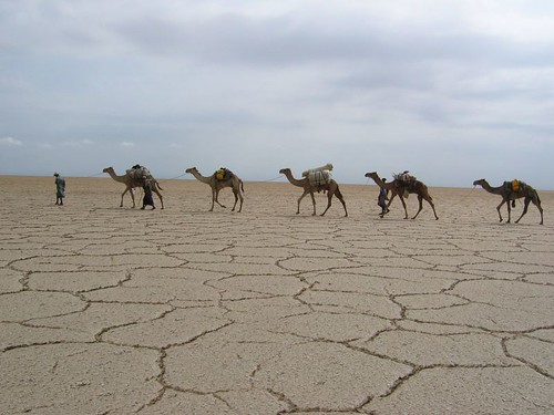 Our camels walking across the salt
