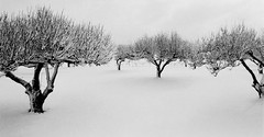 snow trees (snapstill studio) Tags: new trees winter snow cold somber sparse snowtrees martinmcreynolds