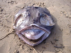 Poisson d'avril (kittymax) Tags: portrait fish france beach nature yummy creature curiosity yikes anko monkfish aprilfool poissondavril royan anglerfish poitoucharentes explore500 specnature seeteufel lophiusamericanus kittymax fujifilmfinepixa350 baudroiedamerique rybaudilscheek