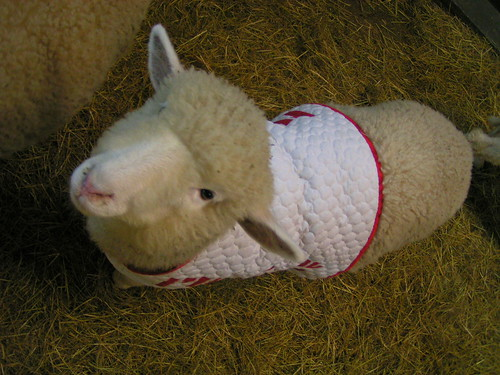 cute, bundled sheep