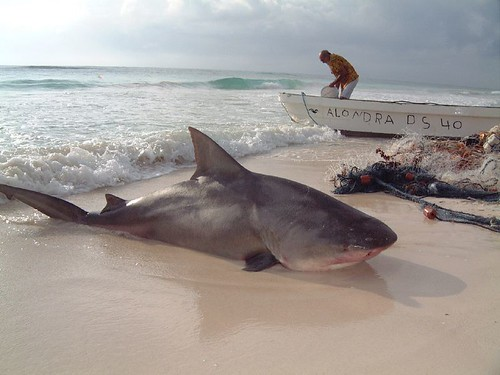 Bull Shark Caught in Tulum, Mexico