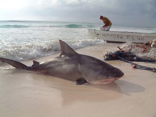 Bull Shark Caught in Tulum, Mexico - Shark Photo