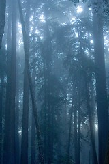 Redwoods (Heather Leah Kennedy) Tags: california park county trees mist tree fog mt madonna mount redwoods watsonville mountmadonna forst