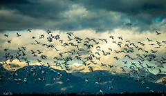 Snow Geese 雪雁翱翔 (T.ye) Tags: snow goose geese sky mountain cloud flying fly todd ye 雪雁 山巒 雲 wildlife wild animal birds bird outdoor outside landscape