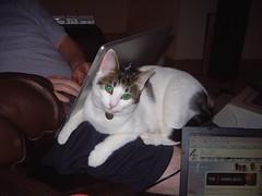 DSCF0372 (judey) Tags: twinkle cats kitten