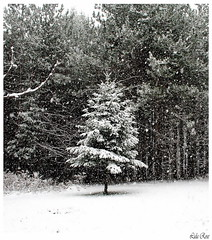 A perfect little tree (Lida Rose) Tags: winter snow nature topf25 forest ilovenature woods seasons snowy natur christmastree adirondacks evergreen snowing conifer lewiscountyny lidarose balsalmfir