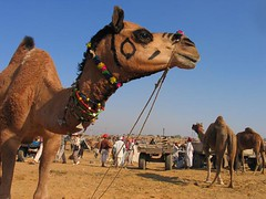 Camel Fair at Pushkar (Captain Suresh Sharma) Tags: portrait brown india animal landscape colours camel rajasthan tradefair thardesert pushkarcattlefair animalsforsale captsureshsharma catchlightineyes traderscongregation camelsonsale photographybycaptsuresh photosbycaptsuresh