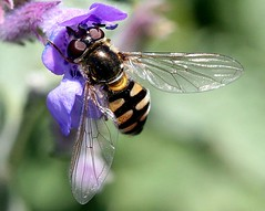 Hoverfly ... (young_einstein) Tags: canon 20d 100mm macro nature hoverfly ywings yellow black stripes flower spring