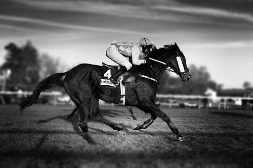 black thoroughbred racehorse. Race Horse