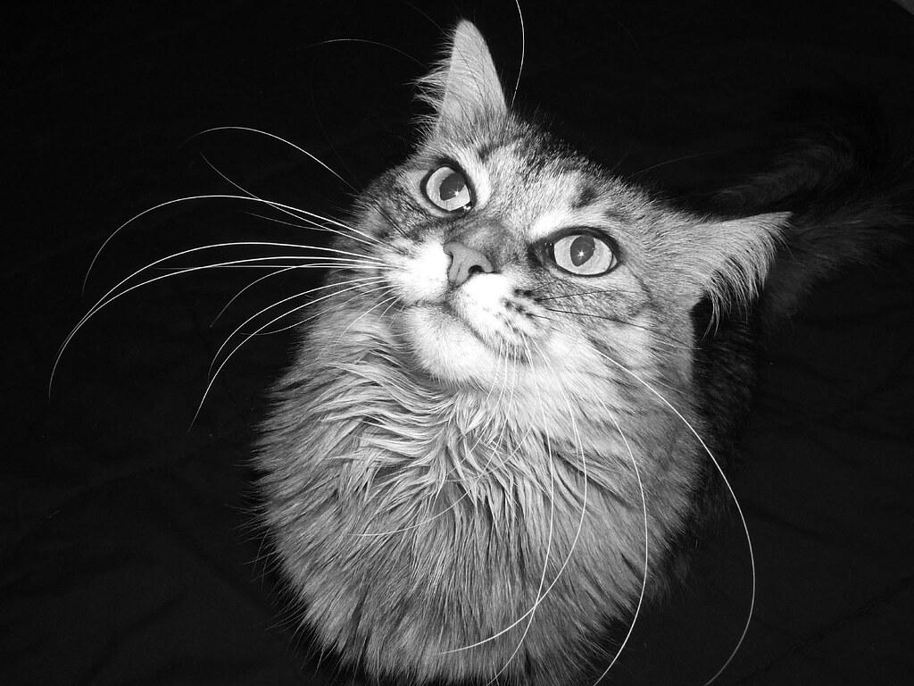 where did siamese cats originate from