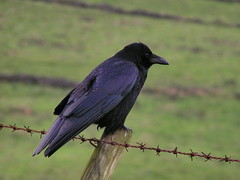 Carrion Crow - by Roger B.