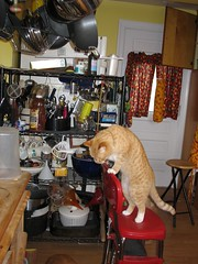 Whipped Cream on Panhandle Test (andrea z) Tags: kitchen cat orangecat pete plop whipcream