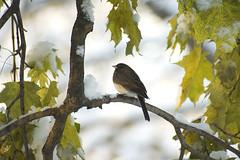 First Snow Junco (martytdx) Tags: winter snow birds topv111 morninglight backyard lifelist junco winter2005 sparrow darkeyedjunco juncohyemalis slatecoloredjunco