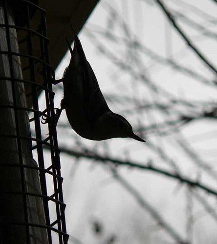 Nuthatch in silhouette