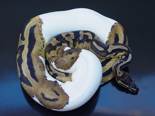 Ball Python Adult Size