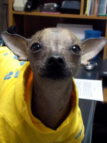 The Worlds Best Photos Of Chihuahua And Xolo Flickr Hive Mind