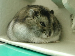 Too fat... (EricFlickr) Tags: taiwan animal hamster pet