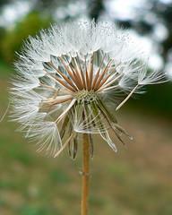 starburst of dandelion - by Brenda Anderson