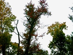 Fall Colours Growing Stronger Everyday.jpg (mightyquinninwky) Tags: lexingtonky fayettecountyky fontaineroad fall trees leaves red yellow green sky clouds rain backyard