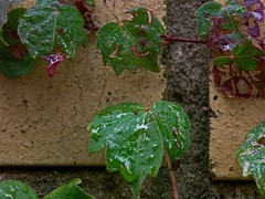 Raindrops Rolling Down Ivy Leaves.jpg (mightyquinninwky) Tags: lexingtonky fayettecountyky fontaineroad kentucky ivy yellowbrick vine fall rain