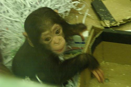 chimp baby