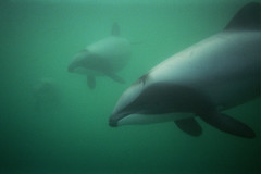 Hectors Dolphins in Akaroa