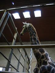 Giraffe (Jan Brnemann) Tags: ouwehandsdierenpark zoo rhenen giraffe