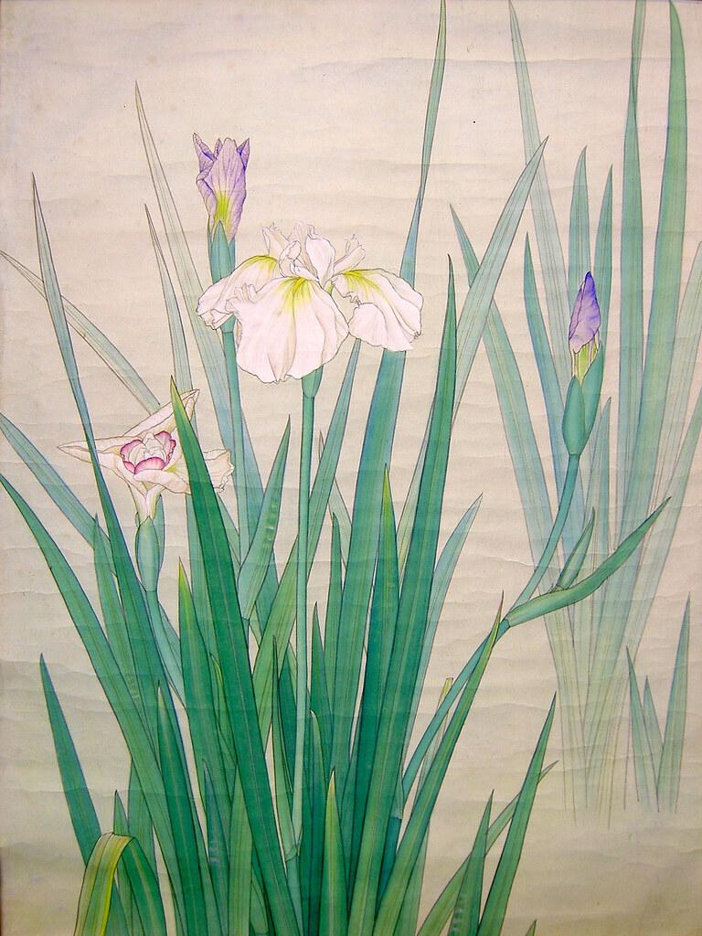 *White Iris - 白菖蒲