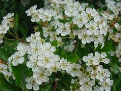 Crataegus monogyna - Meidoorn (Wontolla65) Tags: flowers crataegus rosaceae wild white