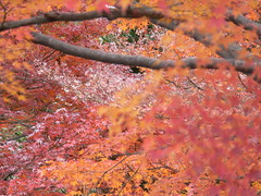 it's still autumn in nagoya (highglosshighs) Tags: 2005 trip autumn red orange castle leaves japan gardens december weekend nagoya 日本 aichi 名古屋 愛知県 名古屋市