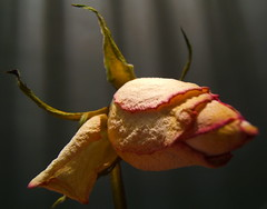 Softly over.......... (ANDI2..) Tags: rose flower macro dying night time december tag1 tag2 tag3 taggedout