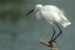 White Beauty (bocavermelha-l.b.) Tags: d70s aves littleegret egrettagarzetta garça–brancapequena tc14eii 80200mmf28d inbali foundinnusadua south–china–sea inindonesia wildlifebali
