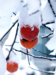 snowy kaki (highglosshighs) Tags: 2005 winter orange white snow cold tree japan fruit december  toyama persimmon fukumitsu brrrr kaki