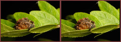 3-D Araneus Diadematus