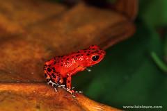 Oophaga Pumílio (Luís Louro) Tags: macro animals wildlife frogs itsong–nikonf5 anphibians itsonginvite itsong–macrocosmos wildlifephotography wildlifecentralamericacaribbean