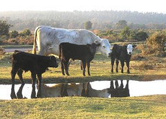 The little calves again (Missy2004) Tags: tag3 taggedout reflections cow tag2 tag1 newforest calves explored thoughtstoliveby pfogold