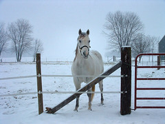 Star Says Goodbye (cindy47452) Tags: horse white snow interestingness orleans gutentag interestingness1 indiana buddy 100views 400views 300views 200views top20horsepix 500views orangecounty 800views 600views 700views snowday 1000views 900views 1100views 1200views 1300views 1500views 1400views 1600views