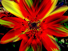 Red Flower (allegra_) Tags: red catchycolors collage effect flower fractals gorgeous lindo