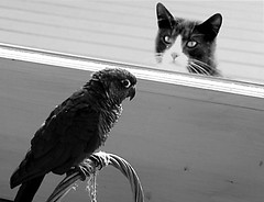peepers and the stray cat (eva8*) Tags: bird cat parrot lookatme hungry peepers eva8 featheryfriday cc100 cc600 gigglegram