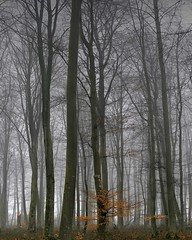 Foret d'Eawy, Normandy (Stephen Laverack) Tags: trees winter mist france cold topv111 fog forest ilovenature topv333 topv444 normandy beech damp 444v4f bellencombre scoreme48 cm086 laverack