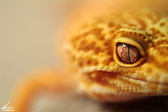 Lula (Carlos Pardo Photography) Tags: orange blur color macro animal fauna dof reptile smooth lula fieldofview gecko eublepharis macularius m4de m4decom flickrsbest spselection specanimal catchycolorsyellowred ccpb0508