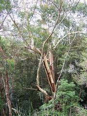 Tall Tree (Talisen) Tags: twinfalls springbrook springbrooknationalpark