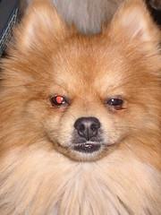 THE TERMINATOR (JESSE) (Jenni Reynolds-Kebler) Tags: red dog pet pets eye funny 100views terminator pomeranian 1000views 1200views 54points