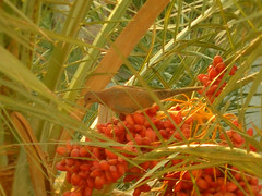 Dove inside Palm trees (mnadi) Tags: flowers sunset red summer sky orange sun holiday hot flower colour macro tree bird weather animal garden palms warm colours outdoor pigeon dove redsea curves egypt peaceful sunny resort arabic clear hidden gouna cairo egyptian heat styles date sheraton dates ethnic spa miramar hurghada michaelgraves bedouin  nubian elgouna bougainvilleas