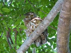 half asleep (GeoWombats) Tags: canon nt australia darwin 2006 owl s2is february barkingowl ninoxconnivens screamingwomanowl geowombats